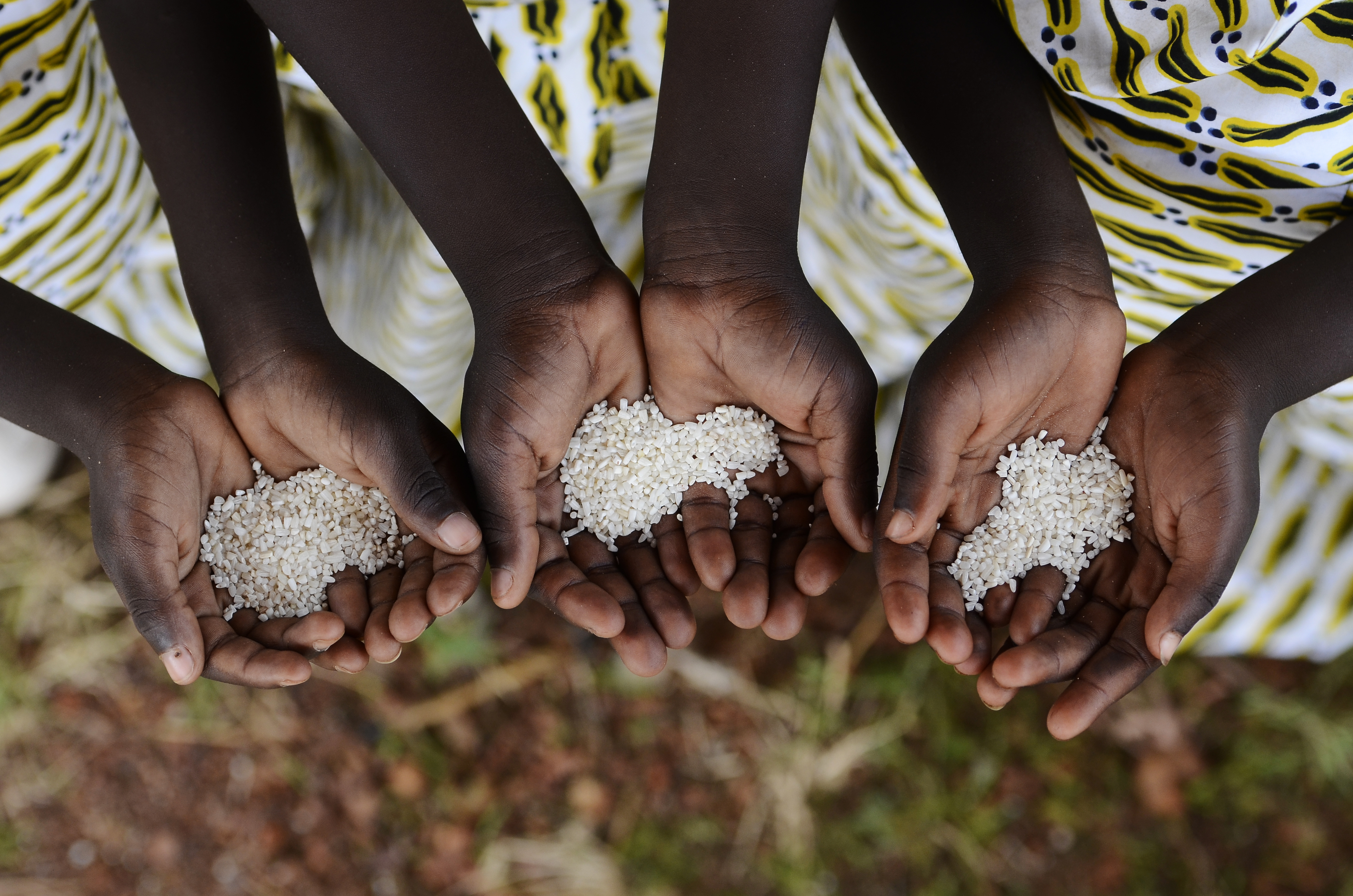 Hands holding rice grain