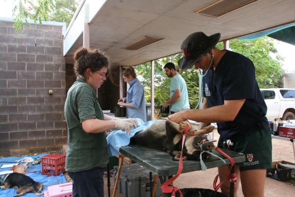 student veterinarians desexing a dog in a makeshift outdoor surgery