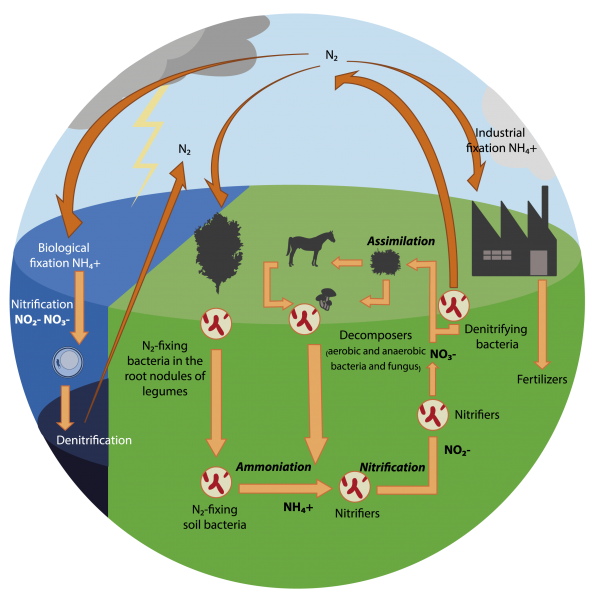 The nitrogen cycle
